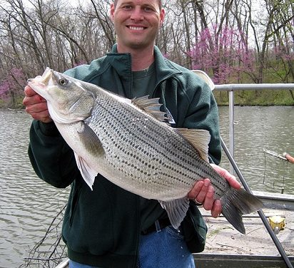 Stocks of Hybrid Striped Bass show promise for northwest Missouri sport fish populations