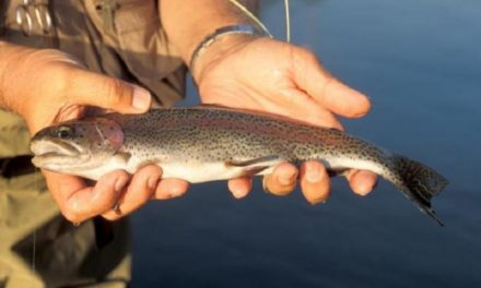 MDC considering raising trout daily tags and permits in 2020