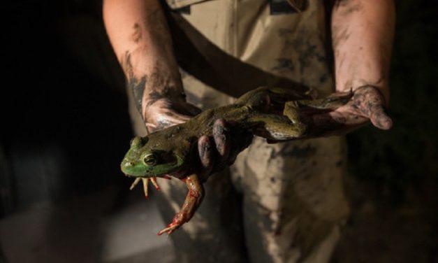 MDC announces frogging season starts June 30 at sunset