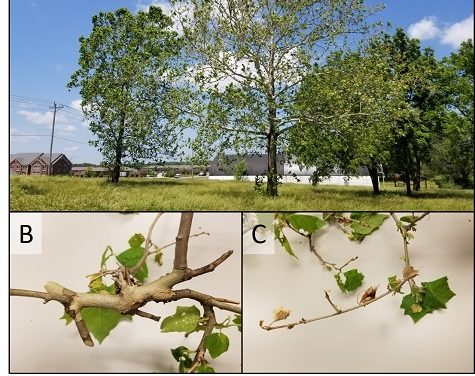 Wet weather leads to increase in infections in Sycamore trees