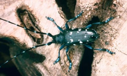 MDC advises Missourians to look for signs of invasive beetle during late summer
