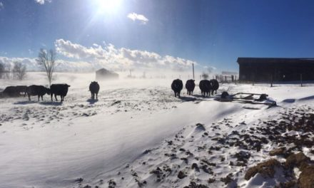 Frozen vegetables: feeding corn silage to cattle in winter