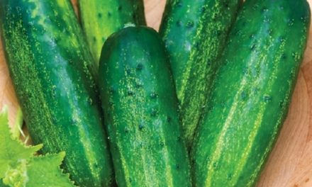 Downey mildew can kill cucumber crop