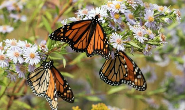 Monarch Butterfly programs offered by MDC in Kansas City