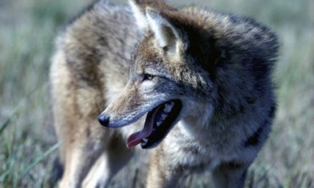 MDC considering changes to hunting coyotes and feral hogs