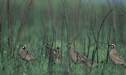 Quail clinic to increase bird numbers and teach covey counting