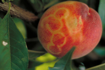 USDA says America is now free of plum pox virus; unprecedented