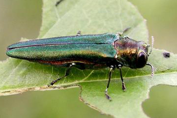 Tree killing beetle found in 16 more Missouri counties