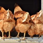China lifts 2015 ban on U.S. poultry