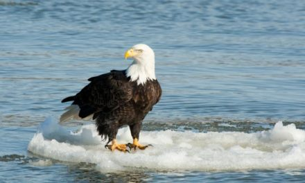 Eagle watching event days released by MDC
