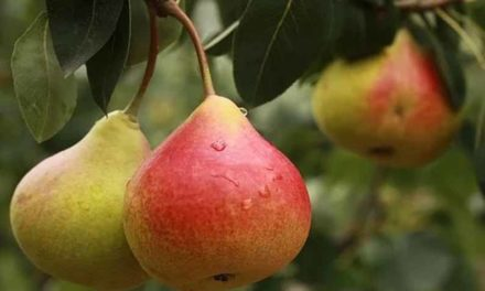 Fruit first planted in U.S. in 1620 brought revenue of $423,089,000 in 2017