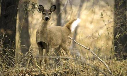 Missouri deer hunters nearly double last year's antlerless deer season