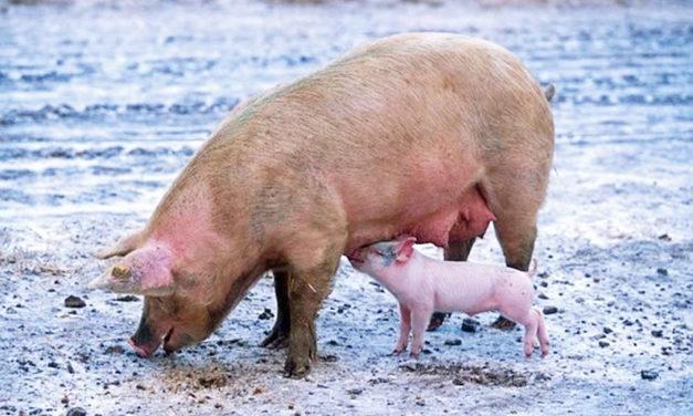 U.S. Animal Health Association Addresses ASF Protocols