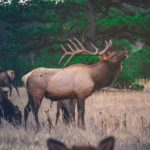 Application deadline for state's first Elk hunting season is Sunday