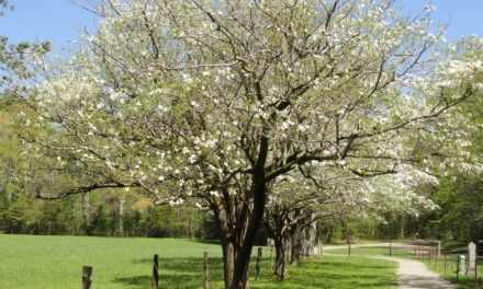 Enjoy more MO flowering trees!