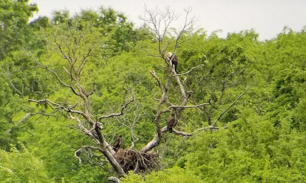 Bald eagles continue nesting comeback in Missouri