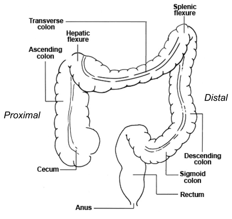 Figure 1, Locations in the Large Intestine: Proximal Colon (Cecum,  Ascending, Hepatic Flexure, and Transverse Colon), Distal Colon (Splenic  Flexure, Descending, Sigmoid Colon, and Rectum) - Screening for Colorectal  Cancer - NCBI Bookshelf