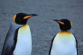 Image result for wikimedia commons penguins