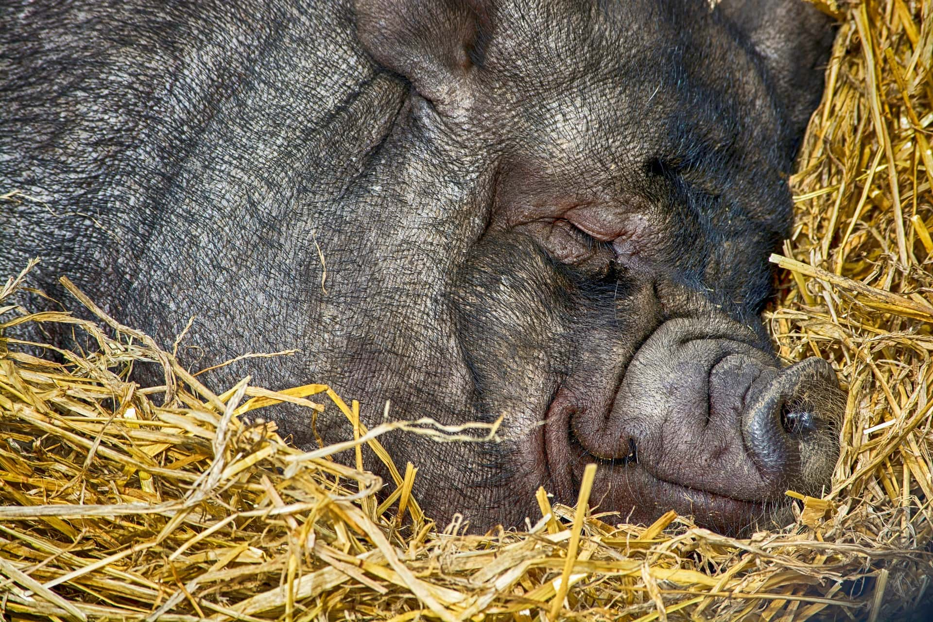 The Pig's Nest