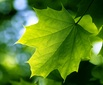 Green%20(light%20through%20maple)