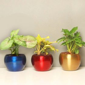 Indoor plants Combo