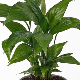 Air purifier, Indoor plant,peace lily