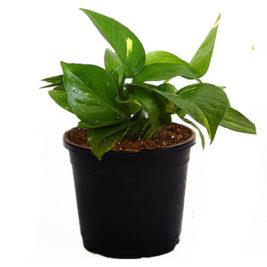 Money plant, Air Purifier.indoor plant