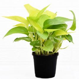 money palnt golden, air purifying plants,indoor plants