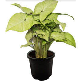 Air Purifying plants, Indoor plants, Syngonium