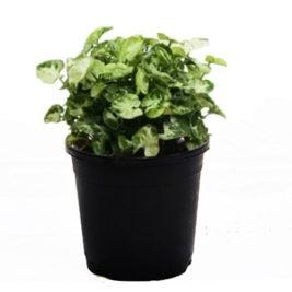 Air purifier plant,Indoor plant, Syngonium
