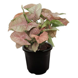 Indoor plant, syngonium