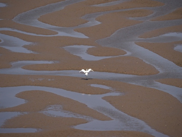 Lone Egret on the flats