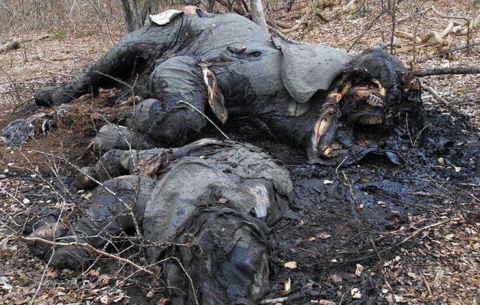 Elephants killed near Mareja in late 2011. Photo courtesy of the Reserve.