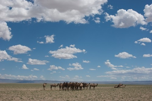 Bactrian camels, the Gobi, July 2010