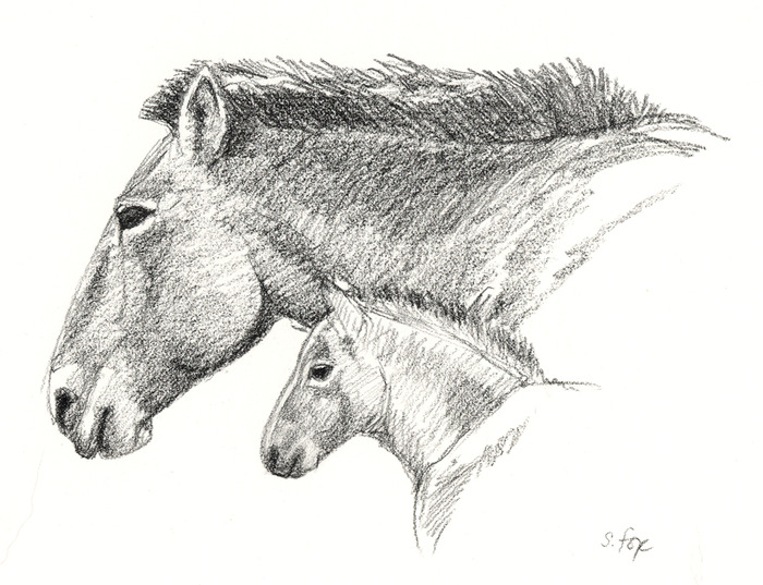Tahki mare and foal. charcoal pencil on paper