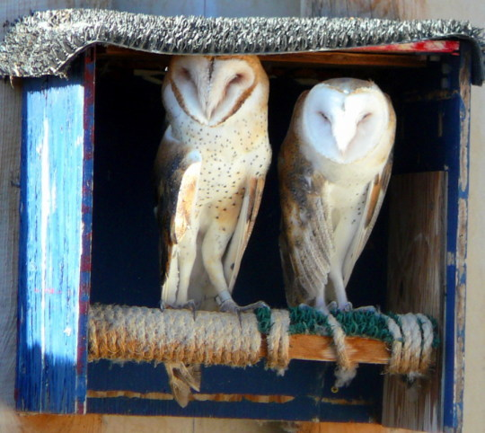 Barn owls are cool, and the best rodent control.