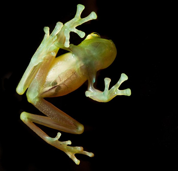 Glass frog, photography by Robin Moore