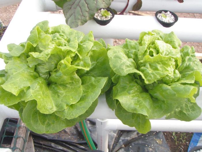Lettuce growing in the Snekkja