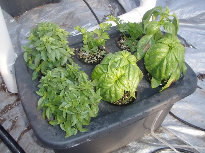 5 Gallon Hydroponic Tote Reward!  This thing grows plants like you won't believe!