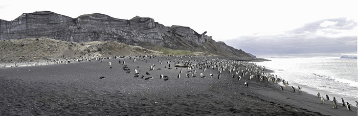 Chinstrap penguin colony at Bailey Head, Deception Island.