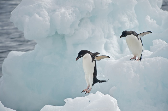 $250 Reward - Adélie Penguins on Iceberg