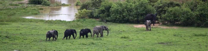 Elephants roaming the Mole National Forest