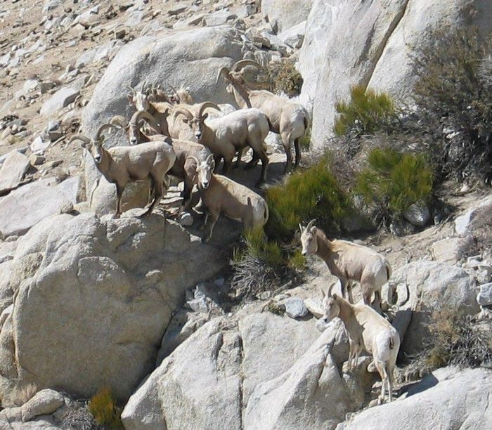 A group of sheep observed in February 2008. (courtesy of Sierra Nevada Bighorn Sheep Foundation)