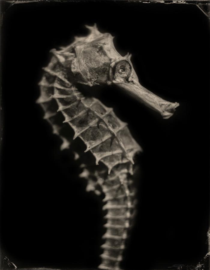 """Hippocampus #5 Platinum Print 16""""x20"""""""