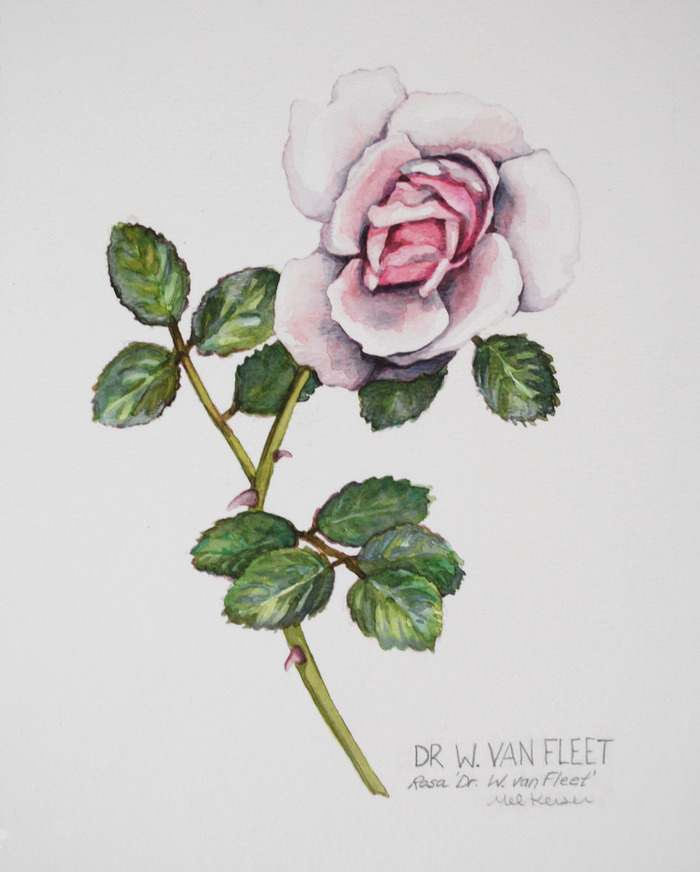 Van Fleet Rose
