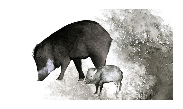 WHITE-LIPPED PECCARIES, Original pen & ink - Example of $1000 pledge