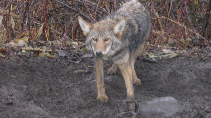 A coyote to be sold & released to the live market