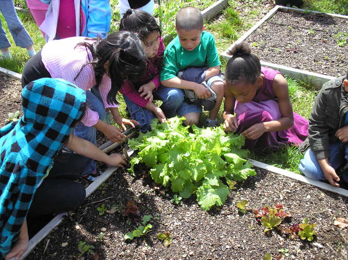 Greenport students harvesting lettuce in the raised beds funded by a Slow Food East End grant for new gardens.