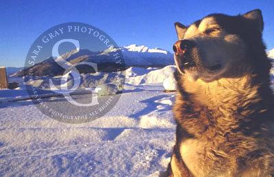 Alaskan Malamute Kennicott, Alaska