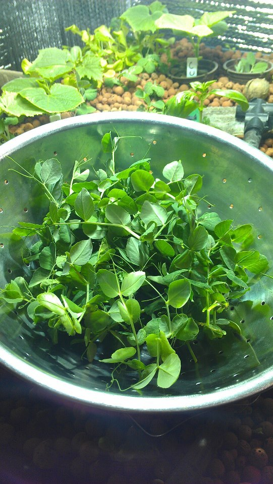 Pea shoots headed to a local restaurant.